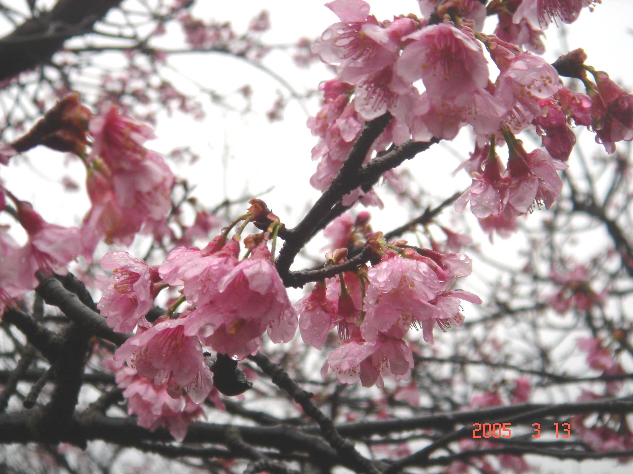 樱花][花朵][向日葵] 向日葵简笔画梵高向日葵美女私
